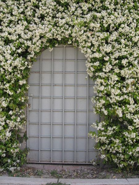 trachelospermum jasminoides, confederate jasmine, star jasmine