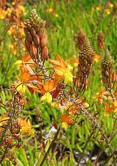 bulbine, succulent, asphodelaceae, orange flowers, drought tolerant