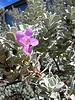 Leucophyllum, texas sage