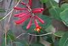 Lonicera sempervirens, coral honeysuckle, caprifoliaceae
