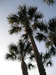 Sabal palmetto, Cabbage Palm, Arecaceae