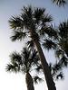 Sabal palmetto, cabbage palm, arecaceae