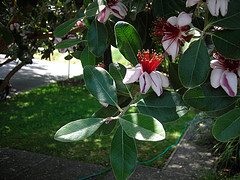 acca flower, feijoa flower, pineapple guava flower