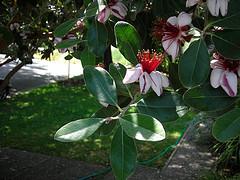 acca flower, feijoa flower, pineapple guava flower