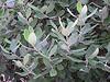 acca leaves, feijoa leaves, pineapple guava leaves