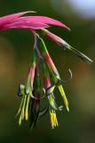 billbergia, queen's tears, bromeliad, bromeliaceae
