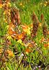 bulbine, succulent, drought tolerant, asphodelaceae, evergreen