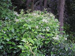 clematis ternifolia, sweet autumn clematis