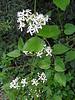 clematis ternifolia