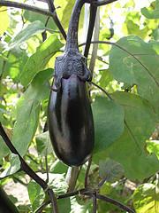 eggplant, solanum melongena