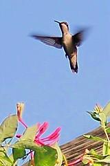 hummingbird, hover, honeysuckle