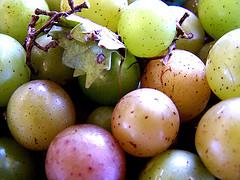 muscadine, grapes, vitis rotundifolia