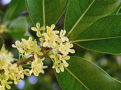 Osmanthus fragrans, tea olive