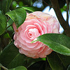 Camellia japonica, pink perfection