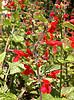 Salvia coccinea, Texas sage, hummingbird plant, Lamiaceae
