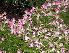 torenia, wishbone flower, summer pansy, annual flower