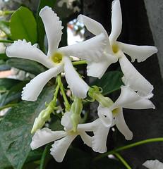 trachelospermum jasminoides, confederate jasmine, star jasmine, white flowers, fragrant, apocynaceae