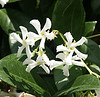 trachelospermum jasminoides, confederate jasmine, star jasmine, evergreen vine, vanilla scent, fragrant white flowers