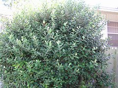 acca hedge, feijoa hedge, pineapple guava hedge