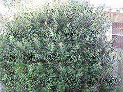 acca hedge, feijoa hedge, pineapple guava hedge
