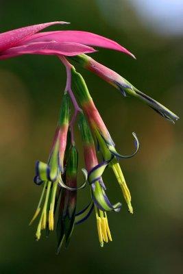 billbergia bromeliad
