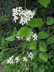 clematis ternifolia leaves, sweet autumn clematis