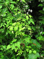 clematis virginiana leaves, virgin's bower
