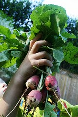 radishes, fresh picked